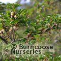 Small image of NOTHOFAGUS