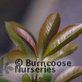 Small image of OSMANTHUS