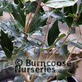 OSMANTHUS heterophyllus 'Purpureus' 