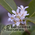OSMANTHUS x 'Burkwoodii'  