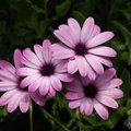 OSTEOSPERMUM 'Cannington Roy'