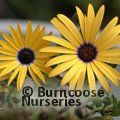 OSTEOSPERMUM 'Lemon Symphony'  