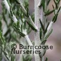 OZOTHAMNUS hookeri 'Sussex Silver' 