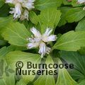 Small image of PACHYSANDRA