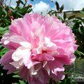PAEONIA 'Albert Crousse'  