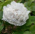 PAEONIA suffruticosa 'Snowy Pagoda' 