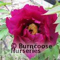 Small image of PAEONIA