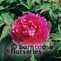 PAEONIA suffruticosa 'Blue Lotus'