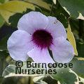 PANDOREA jasminoides 'Charisma'
