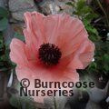 Small image of PAPAVER