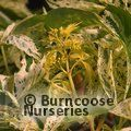Small image of PARTHENOCISSUS