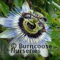 Small image of PASSIFLORA