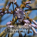 PAULOWNIA tomentosa 'Lilacina'