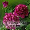 PAEONIA suffruticosa 'Mulberry Purple' 