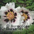 PAEONIA suffruticosa 'Snowy Lotus' 
