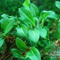 Small image of PERSICARIA
