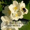 PHILADELPHUS coronarius  