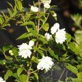 PHILADELPHUS 'Frosty Morn'  