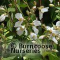 PHILADELPHUS 'Mont Blanc'  