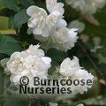 PHILADELPHUS 'Virginal'  