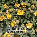 PHLOMIS fruticosa  
