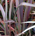 PHORMIUM 'Co-Ordination'