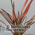 Small image of PHORMIUM