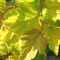 Small image of PHYSOCARPUS