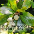 Small image of PITTOSPORUM