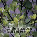 PITTOSPORUM tenuifolium 'Wrinkle Blue' 
