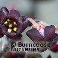 PITTOSPORUM tenuifolium 'Atropurpureum' 