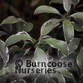 PITTOSPORUM tenuifolium 'Silver Queen'