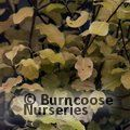 PITTOSPORUM tenuifolium 'Warnham Gold'