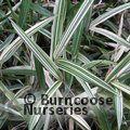 BAMBOO Pleioblastus chino f. elegantissimus