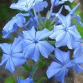 PLUMBAGO auriculata  