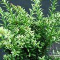 PODOCARPUS nivalis 'Kilworth Cream' 