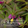 Small image of POLYGALA