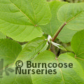 Small image of POPULUS