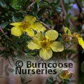 Small image of POTENTILLA