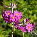 Candelabra Primula Collection