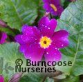 Small image of PRIMULA