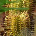 PROTEA Banksia spinulosa var. spinulosa 