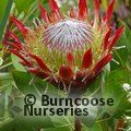 Small image of BANKSIA - see PROTEA