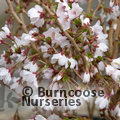 Prunus incisa Kojo No Mai  £26.50 inc c&p, save £4