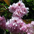 PRUNUS 'Kanzan'  