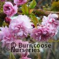 PRUNUS 'Kiku Shidare Zakura'  