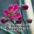 PRUNUS mume 'Beni-shidari' 