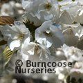 PRUNUS 'Shirotae'  