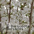 PRUNUS x hillieri 'Spire' 