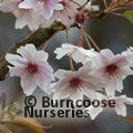 PRUNUS x subhirtella 'Autumnalis' 